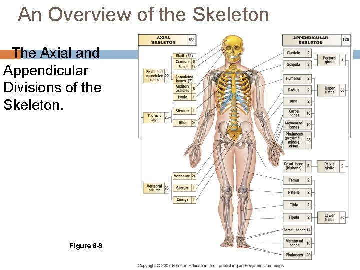 An Overview of the Skeleton The Axial and Appendicular Divisions of the Skeleton. Figure