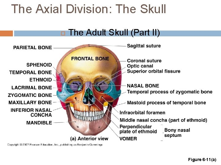 The Axial Division: The Skull The Adult Skull (Part II) Figure 6 -11(a)