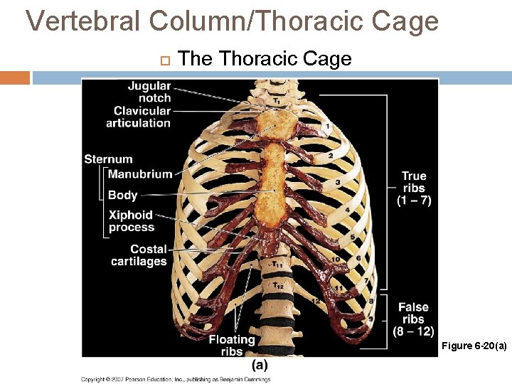 Vertebral Column/Thoracic Cage The Thoracic Cage Figure 6 -20(a)