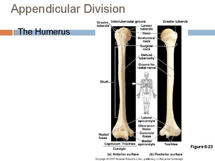 Appendicular Division The Humerus Figure 6 -23