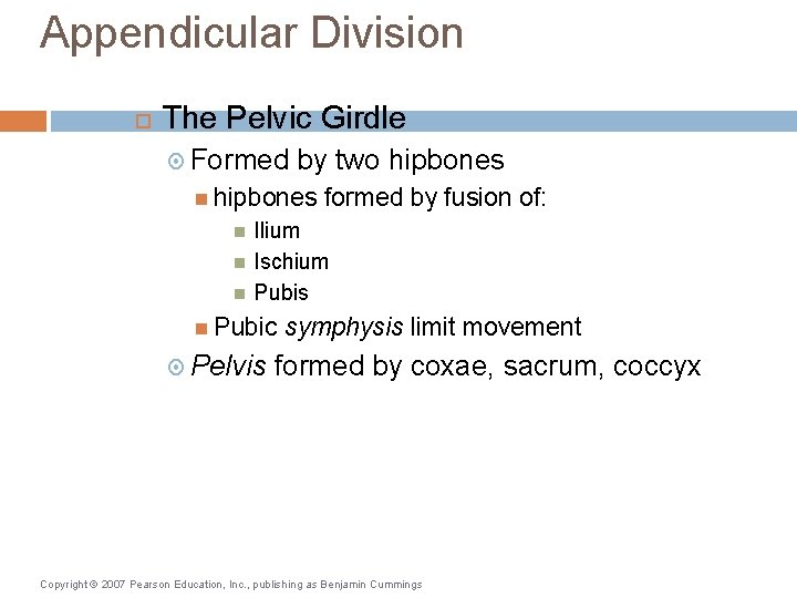 Appendicular Division The Pelvic Girdle Formed by two hipbones formed by fusion of: Ilium