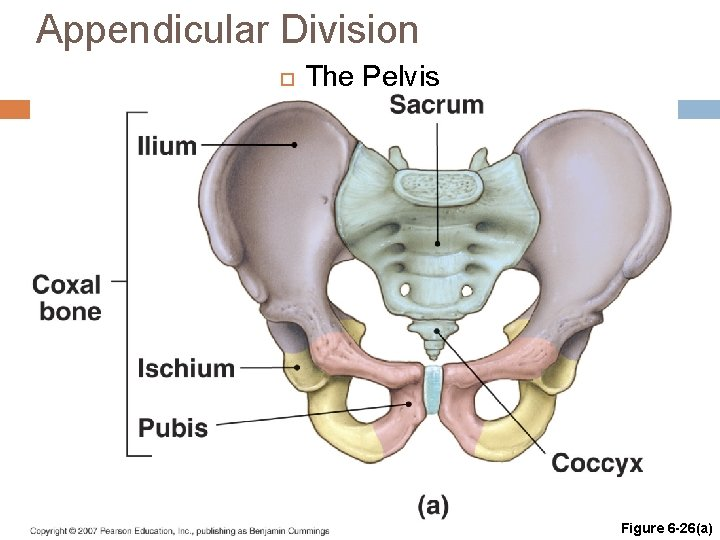 Appendicular Division The Pelvis Copyright © 2007 Pearson Education, Inc. , publishing as Benjamin