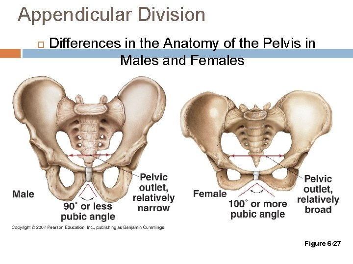 Appendicular Division Differences in the Anatomy of the Pelvis in Males and Females Figure