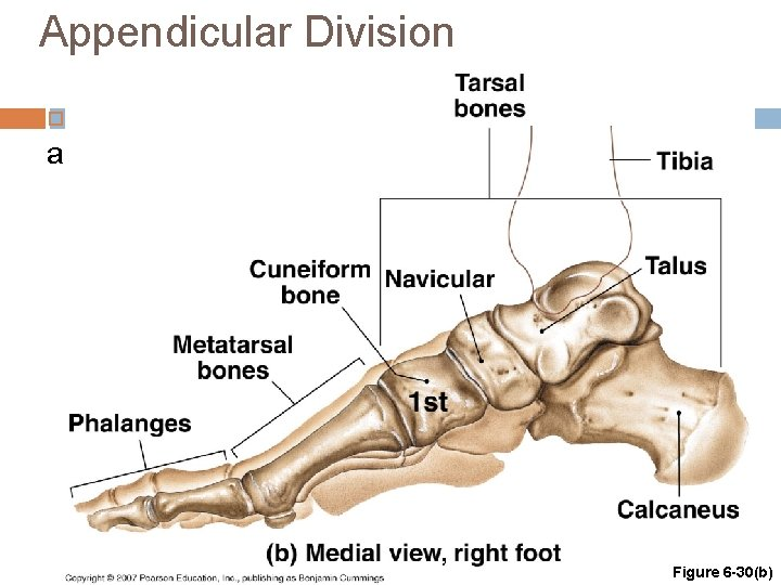 Appendicular Division The Bones of the Ankle and Foot Figure 6 -30(b)