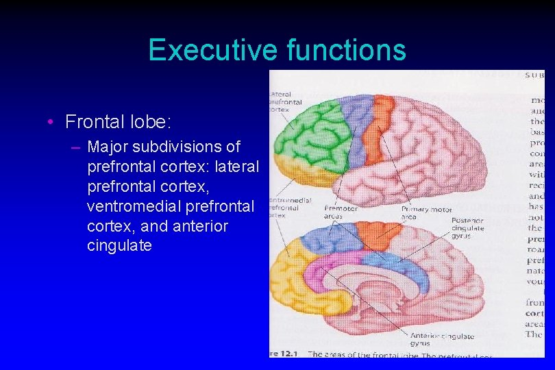 Executive functions • Frontal lobe: – Major subdivisions of prefrontal cortex: lateral prefrontal cortex,