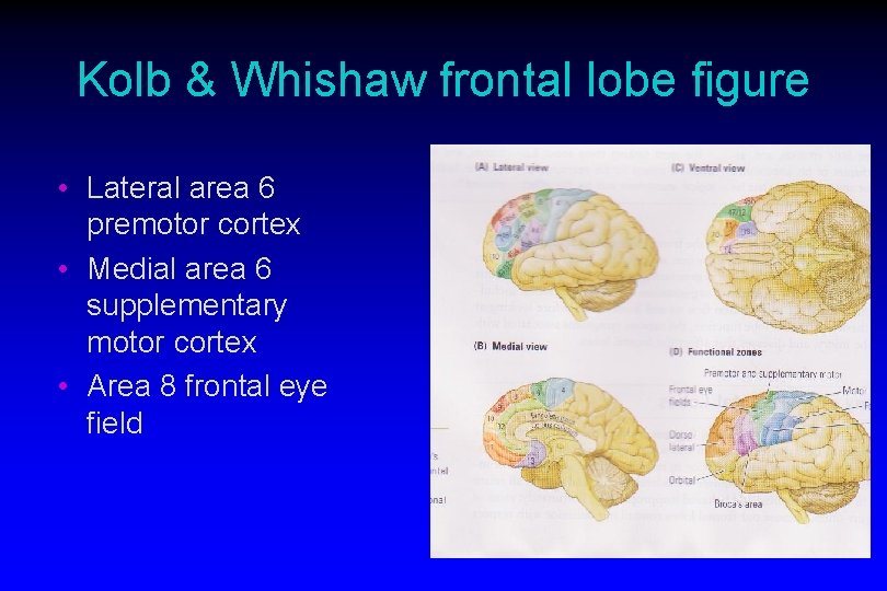 Kolb & Whishaw frontal lobe figure • Lateral area 6 premotor cortex • Medial