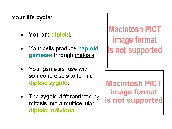 Your life cycle: · You are diploid. · Your cells produce haploid gametes through