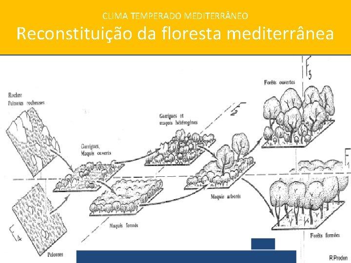 CLIMA TEMPERADO MEDITERR NEO Reconstituição da floresta mediterrânea