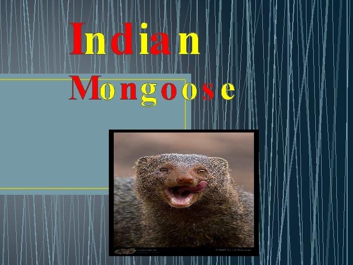 Indian Mongoos e
