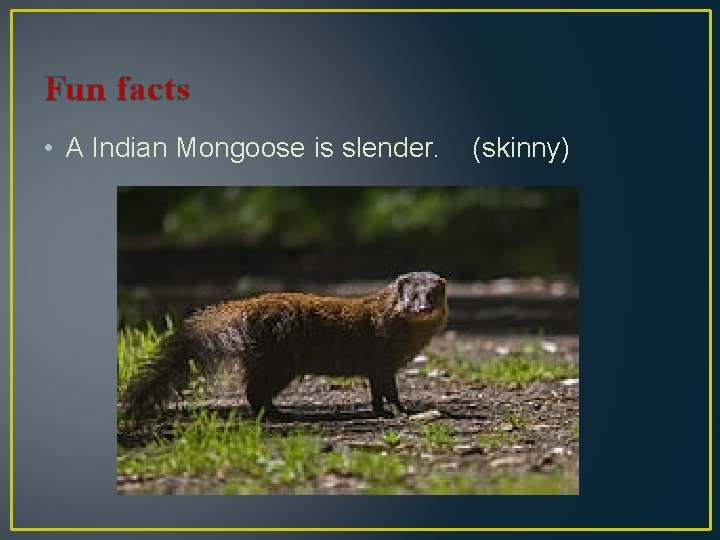 Fun facts • A Indian Mongoose is slender. (skinny)