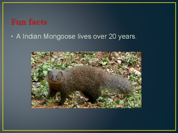 Fun facts • A Indian Mongoose lives over 20 years.