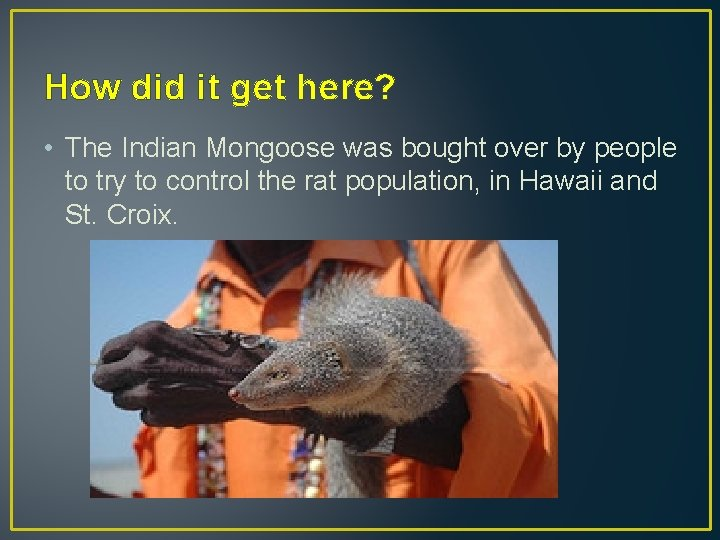 How did it get here? • The Indian Mongoose was bought over by people