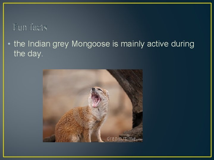 Fun facts • the Indian grey Mongoose is mainly active during the day.