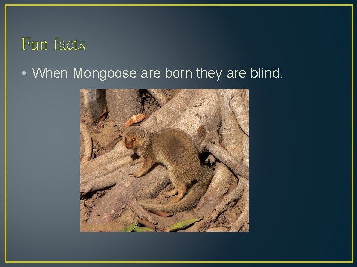 Fun facts • When Mongoose are born they are blind.