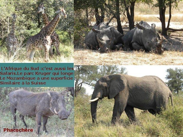 L'Afrique du Sud : c'est aussi les Safaris. Le parc Kruger qui longe Le