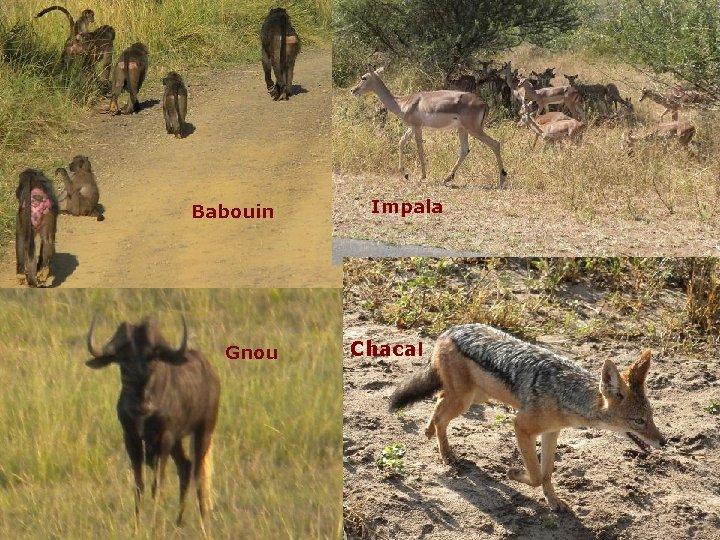 Babouin Gnou Impala Chacal