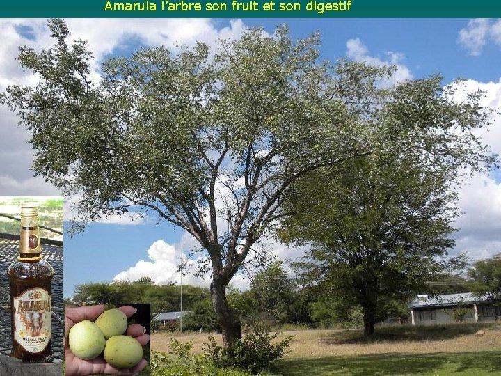 Amarula l'arbre son fruit et son digestif
