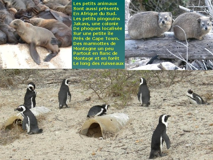 Les petits animaux Sont aussi présents En Afrique du Sud. Les petits pingouins Jakass,