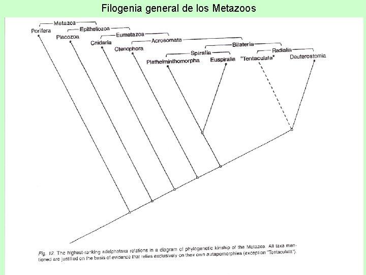 filogenia platyhelminthes coagularea preparării verucilor genitale