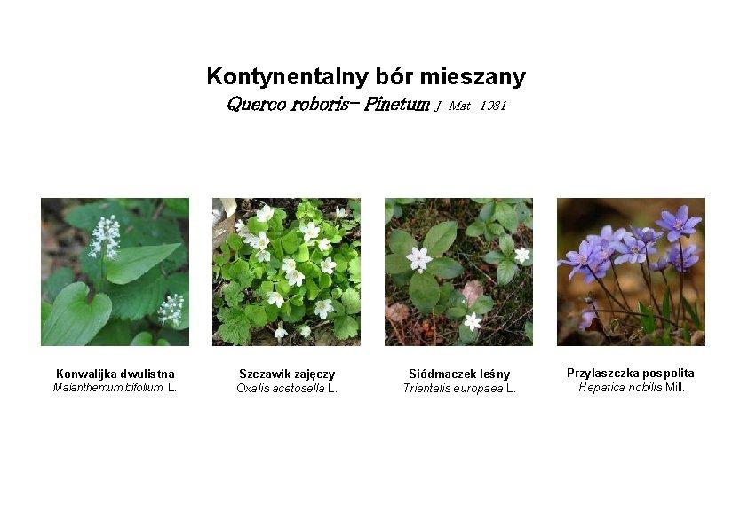 Kontynentalny bór mieszany Querco roboris- Pinetum J. Mat. 1981 Konwalijka dwulistna Maianthemum bifolium L.