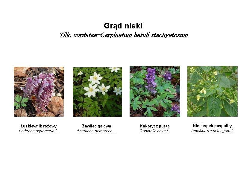 Grąd niski Tilio cordatae-Carpinetum betuli stachyetosum Łuskiewnik różowy Lathraea squamaria L. Zawilec gajowy Anemone