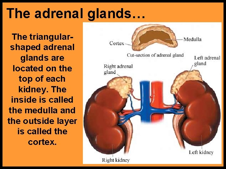 The adrenal glands… The triangularshaped adrenal glands are located on the top of each