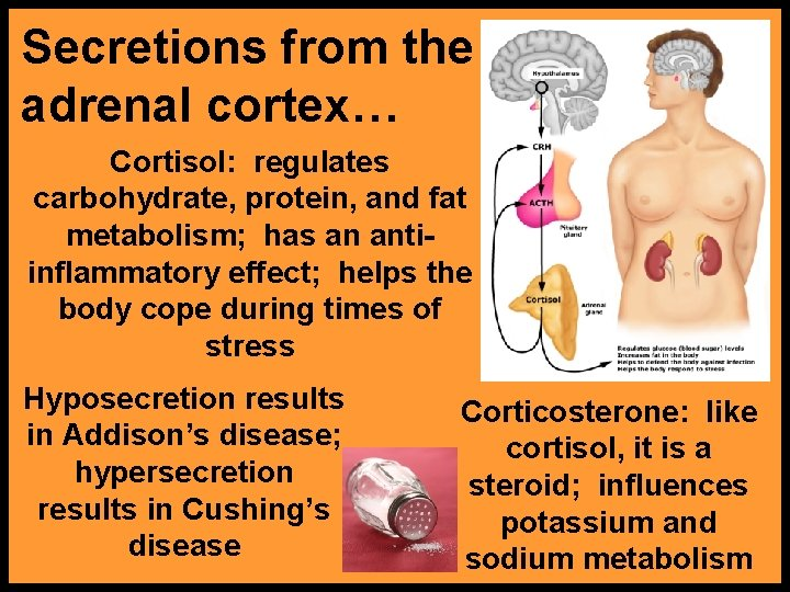 Secretions from the adrenal cortex… Cortisol: regulates carbohydrate, protein, and fat metabolism; has an