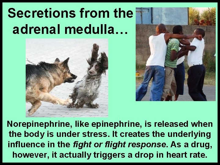 Secretions from the adrenal medulla… Norepinephrine, like epinephrine, is released when the body is