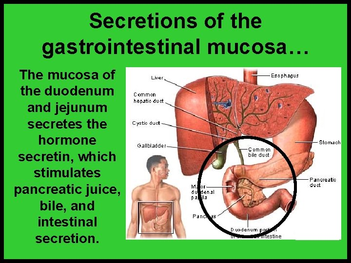 Secretions of the gastrointestinal mucosa… The mucosa of the duodenum and jejunum secretes the