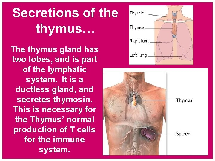 Secretions of the thymus… The thymus gland has two lobes, and is part of