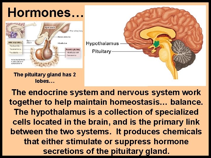Hormones… The pituitary gland has 2 lobes… The endocrine system and nervous system work