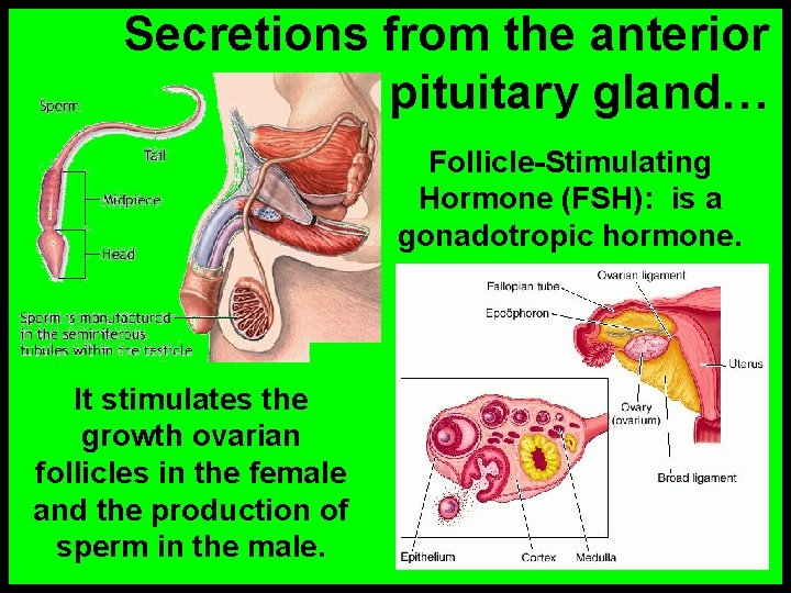 Secretions from the anterior pituitary gland… Follicle-Stimulating Hormone (FSH): is a gonadotropic hormone. It
