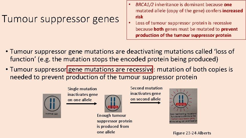 Tumour suppressor genes • BRCA 1/2 inheritance is dominant because one mutated allele (copy