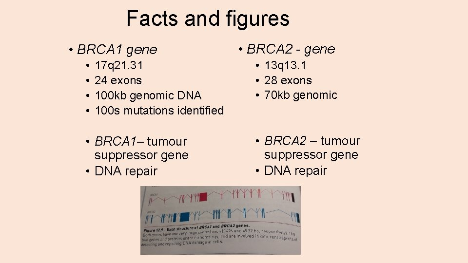 Facts and figures • BRCA 1 gene • • 17 q 21. 31 24