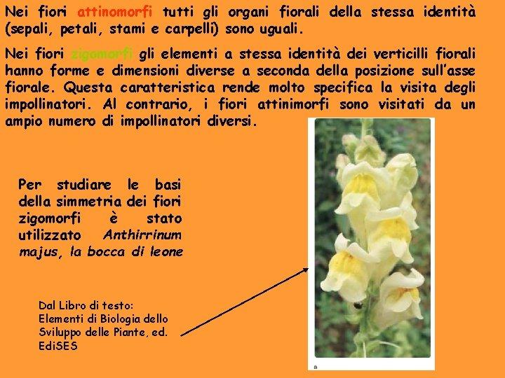 Nei fiori attinomorfi tutti gli organi fiorali della stessa identità (sepali, petali, stami e