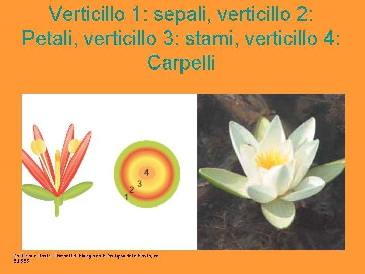 Verticillo 1: sepali, verticillo 2: Petali, verticillo 3: stami, verticillo 4: Carpelli Dal Libro