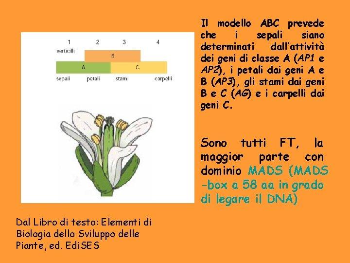 Il modello ABC prevede che i sepali siano determinati dall'attività dei geni di classe