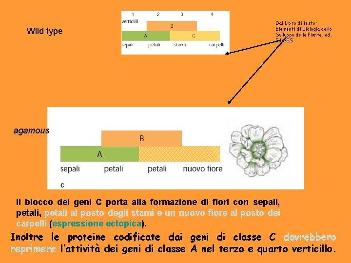 Wild type Dal Libro di testo: Elementi di Biologia dello Sviluppo delle Piante, ed.