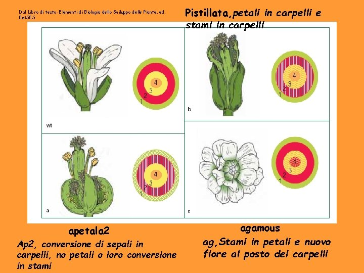Dal Libro di testo: Elementi di Biologia dello Sviluppo delle Piante, ed. Edi. SES