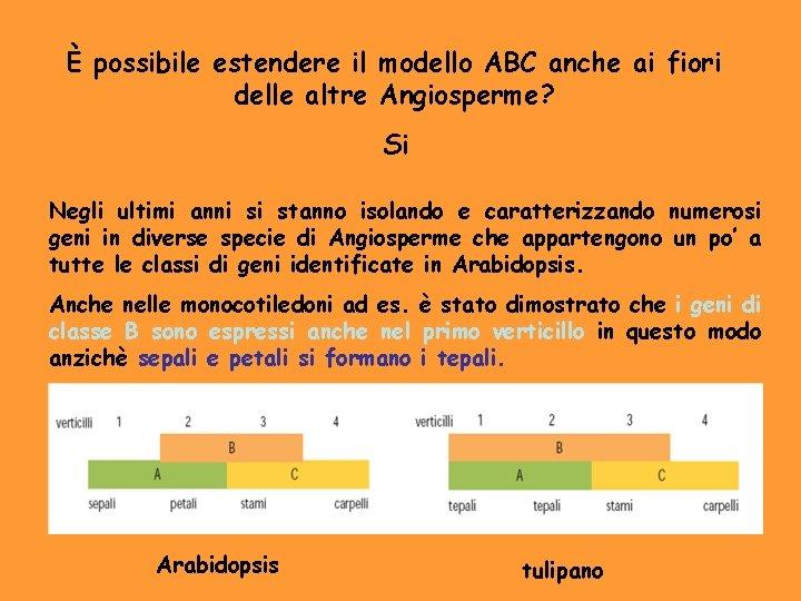 È possibile estendere il modello ABC anche ai fiori delle altre Angiosperme? Si Negli