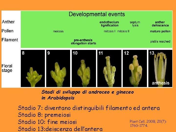 Stadi di sviluppo di androceo e gineceo in Arabidopsis Stadio 7: diventano distinguibili filamento