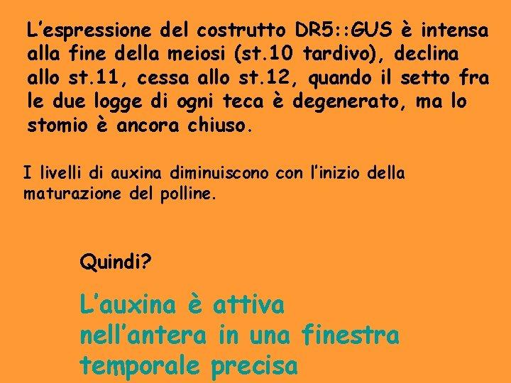 L'espressione del costrutto DR 5: : GUS è intensa alla fine della meiosi (st.