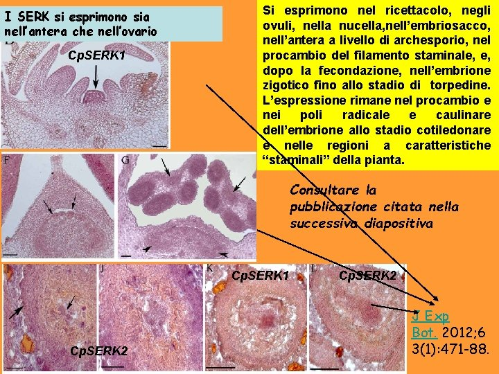 I SERK si esprimono sia nell'antera che nell'ovario Cp. SERK 1 Si esprimono nel