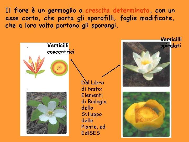 Il fiore è un germoglio a crescita determinata, con un asse corto, che porta