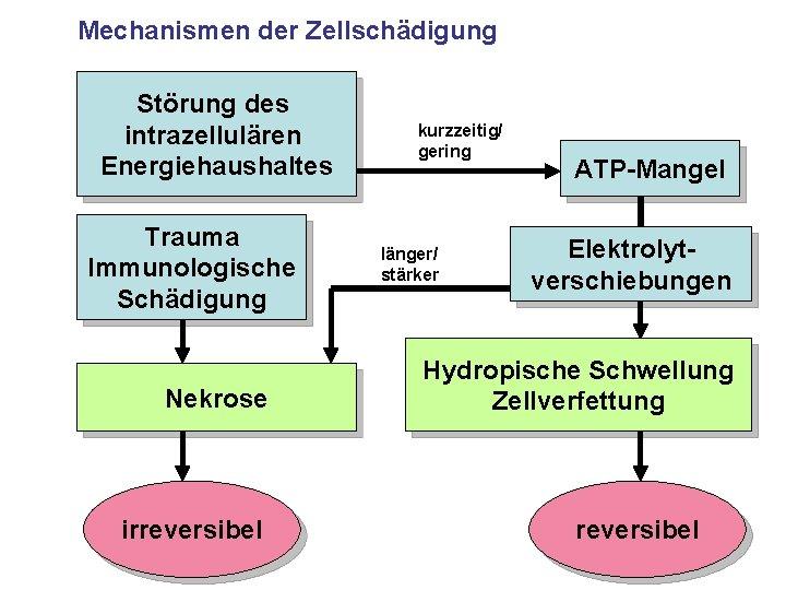 Mechanismen der Zellschädigung Störung des intrazellulären Energiehaushaltes Trauma Immunologische Schädigung Nekrose irreversibel kurzzeitig/ gering