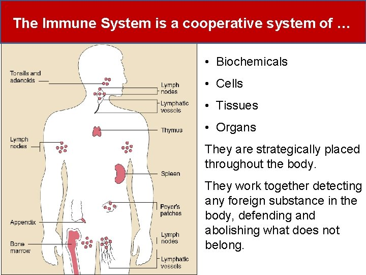 The Immune System is a cooperative system of … • Biochemicals • Cells •
