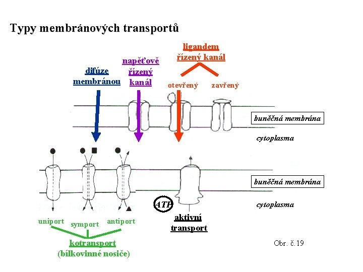 Typy membránových transportů napěťově difúze řízený membránou kanál ligandem řízený kanál otevřený zavřený buněčná