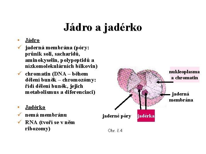 Jádro a jadérko • Jádro ü jaderná membrána (póry: průnik soli, sacharidů, aminokyselin, polypeptidů