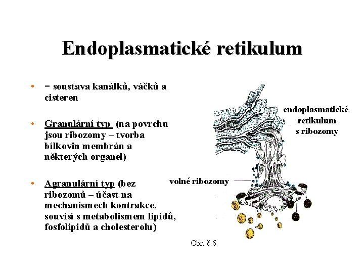 Endoplasmatické retikulum • = soustava kanálků, váčků a cisteren endoplasmatické retikulum s ribozomy •
