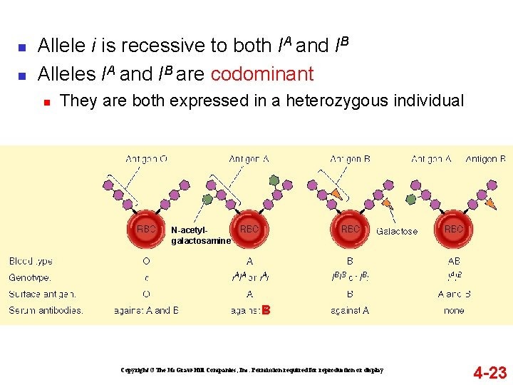 n n Allele i is recessive to both IA and IB Alleles IA and
